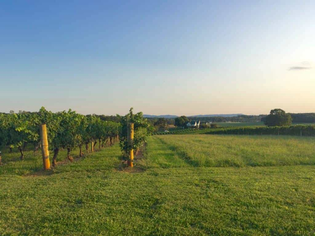grape vines in a north carolina vineyard at dusk