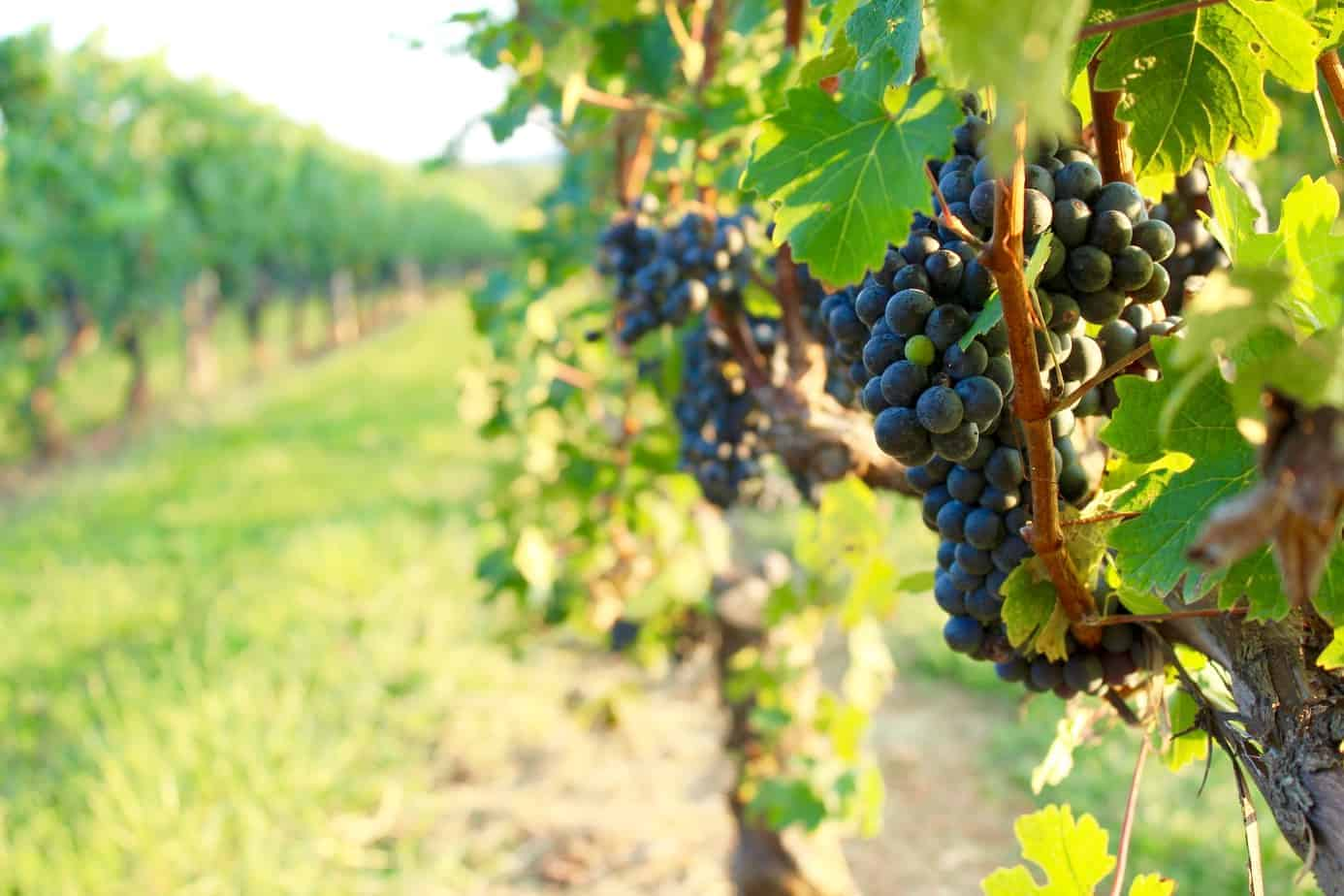 grapes growing on the vine in a vineyard at a north carolina winery