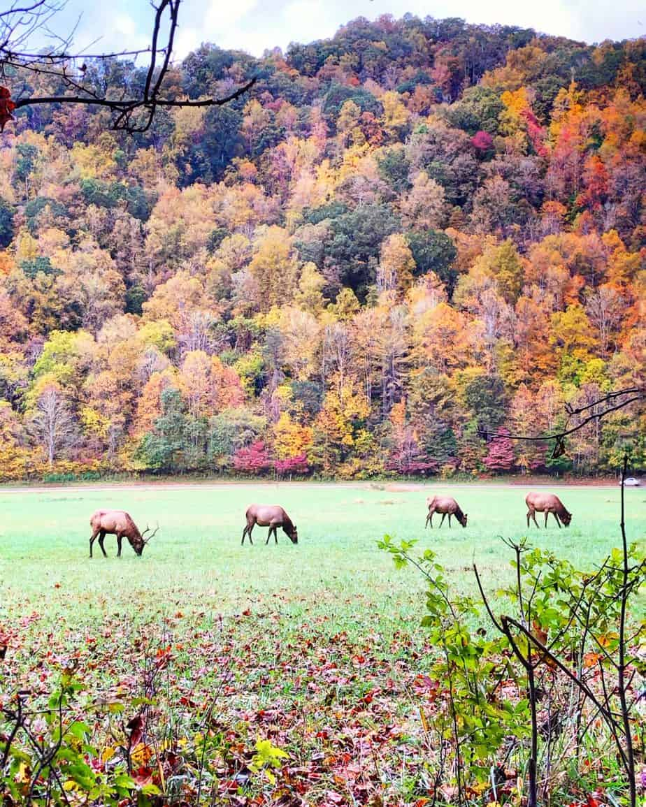 four brown elk in a green pasture grazing with colorful fall leaves in the background