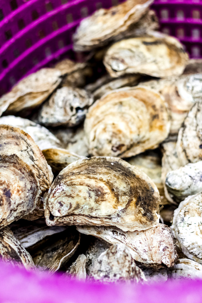purple basket of oysters harvested at the crystal coast
