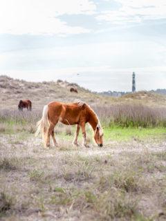 Horses at Shackleford Banks