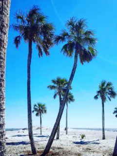 bright blue sky and four palm trees blowing in the breeze at hunting island state park